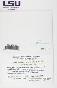 Tuckermanopsis orbata image
