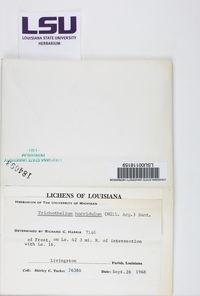 Trichothelium horridulum image