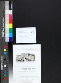 Anisomeridium tamarindi image