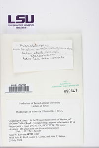 Phaeophyscia hirsuta image