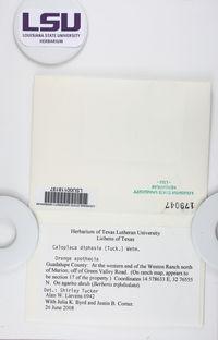 Caloplaca diphasia image