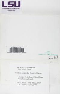 Toniniopsis aromatica image
