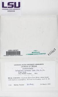 Athallia pyracea image