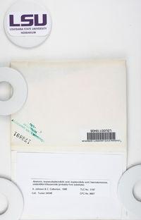 Haematomma flexuosum image