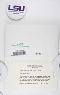 Chrismofulvea dialyta image