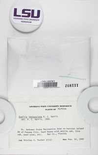 Baculifera imshaugiana image