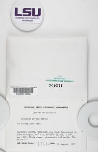 Calicium parvum image