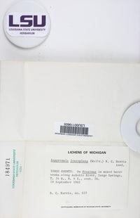 Eopyrenula leucoplaca image