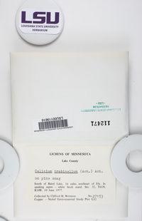 Calicium trabinellum image