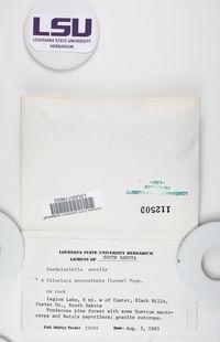 Caloplaca approximata image