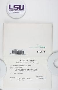 Gyalolechia epiphyta image