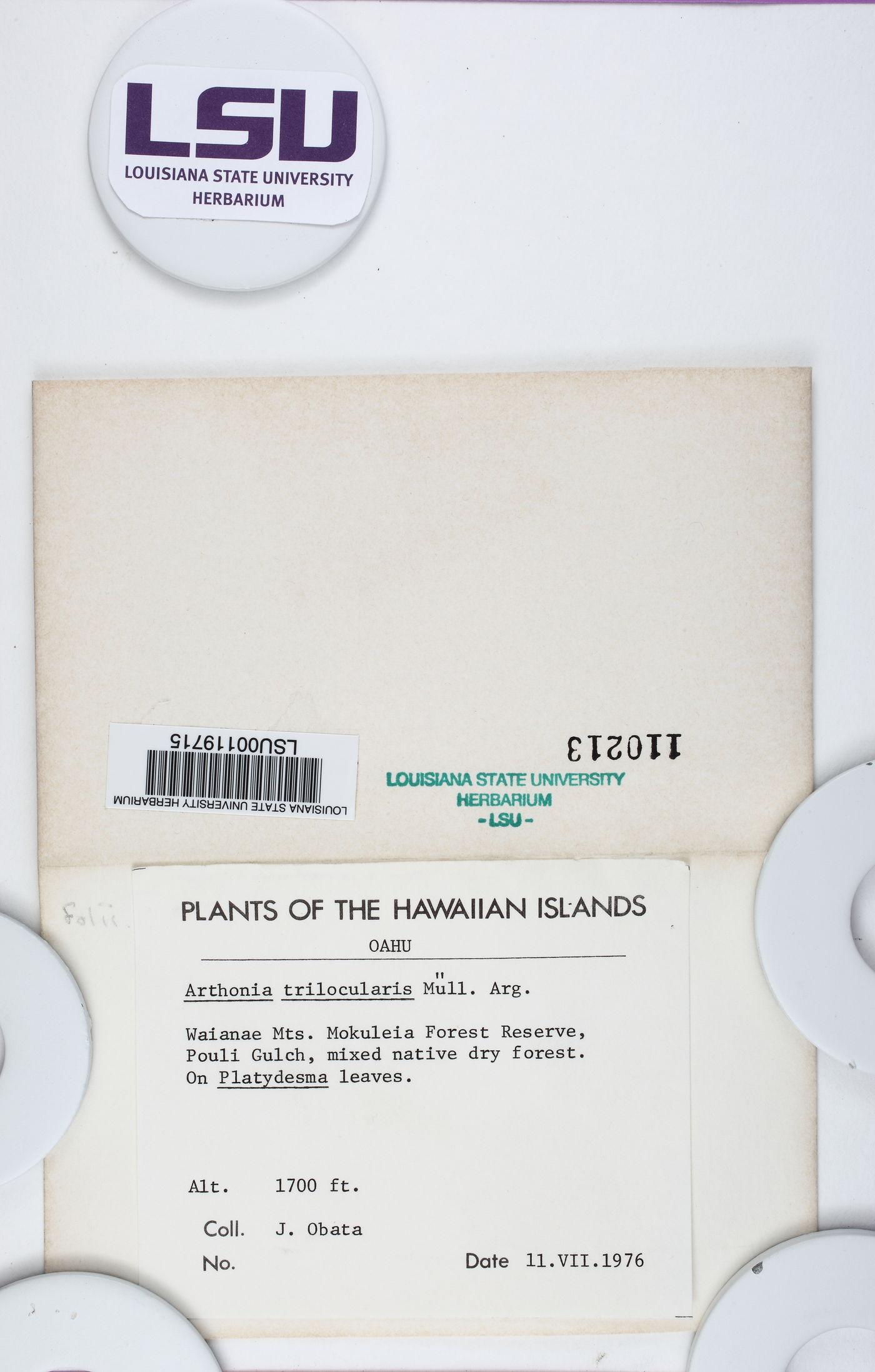 Arthonia trilocularis image