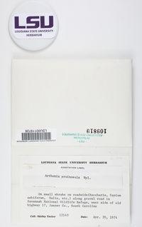 Arthonia glaucella image
