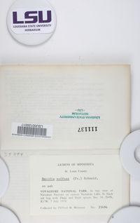Bacidia suffusa image