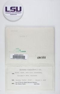 Bryoria bicolor image