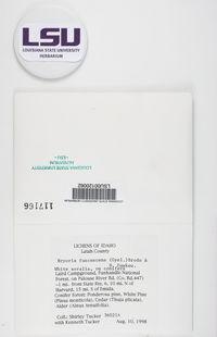 Bryoria fuscescens image