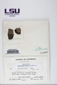Phaeographis erumpens image