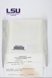 Pyrenula astroidea image
