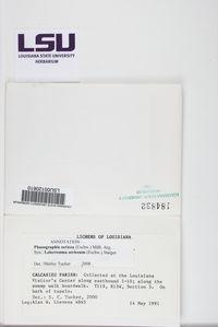 Leiorreuma sericeum image