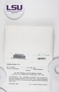 Polycauliona ignea image