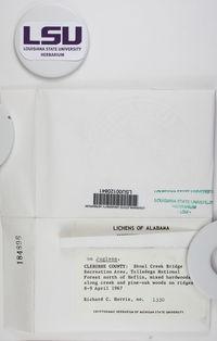 Anisomeridium polypori image