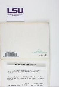 Pyrenula microcarpa image