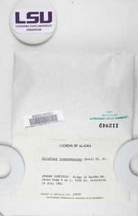 Bryoplaca jungermanniae image