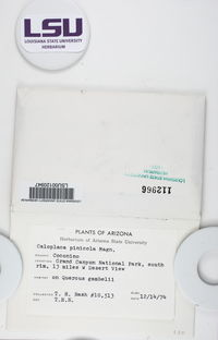 Caloplaca pinicola image