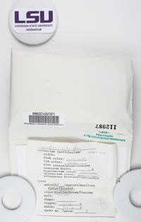 Caloplaca sideritis image