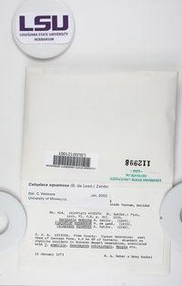 Squamulea squamosa image