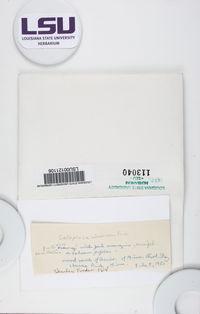 Caloplaca ulmorum image