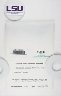 Candelaria concolor image