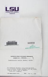 Candelariella aurella image