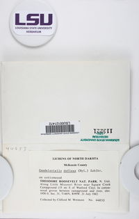 Candelariella deflexa image