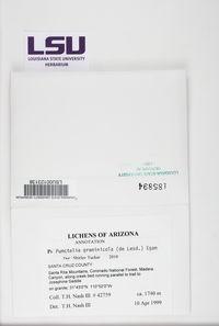 Punctelia graminicola image