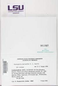 Pertusaria epixantha image