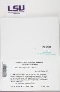 Image of Ramalina cochlearis