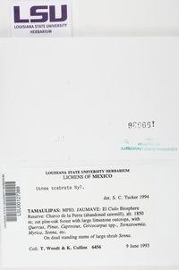 Usnea barbata image