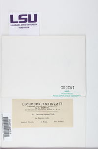 Lecanora cupressi image