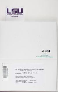 Cladonia didyma image