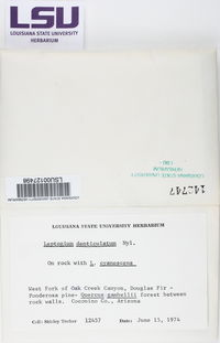 Leptogium denticulatum image