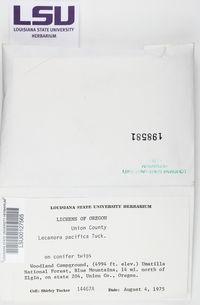 Lecanora pacifica image