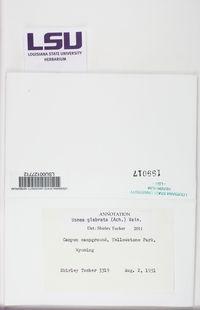 Usnea glabrata image