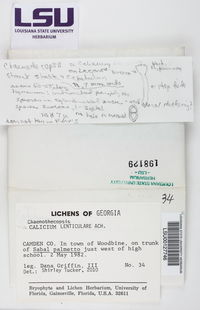 Calicium lenticulare image