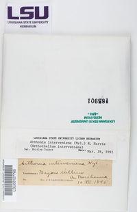 Arthonia interveniens image