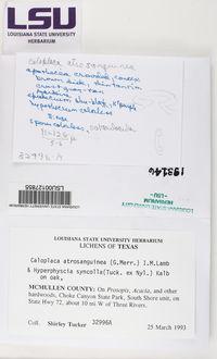 Caloplaca atrosanguinea image