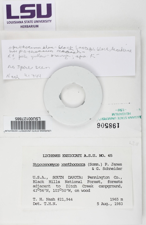 Pycnora xanthococca image