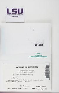 Amandinea langloisii image