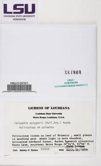 Calopadia puiggarii image