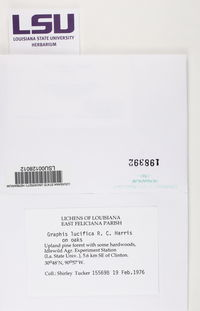 Graphis lucifica image